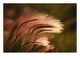 Foxtail-grass-in-sunlight--B10242839