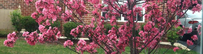 CRAB APPLE 042310