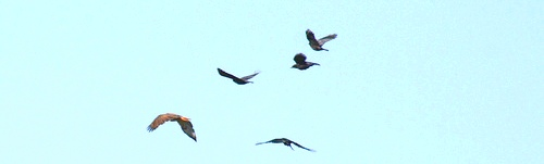 REDTAIL MOBBED BY CROWS FLICKER edited