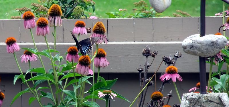 BUTTERFLY IN CONE FLOWERS 073010