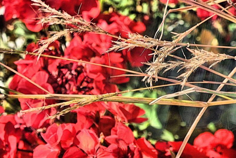GERANIUMS AND PRAIRIE GRASS FALL 2010