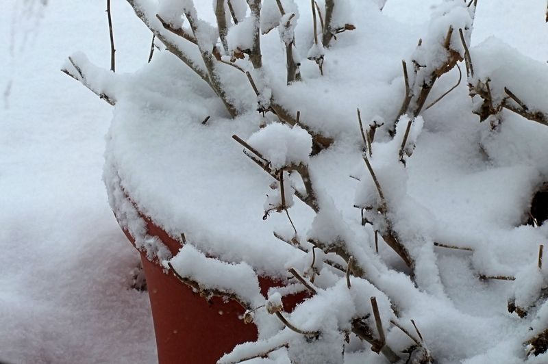 GERANIUMS IN WINTER SNOW 2010