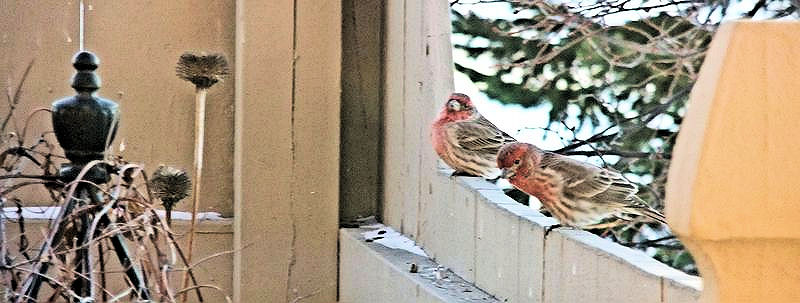 WINTER HOUSE FINCHES ON FENCE 2010