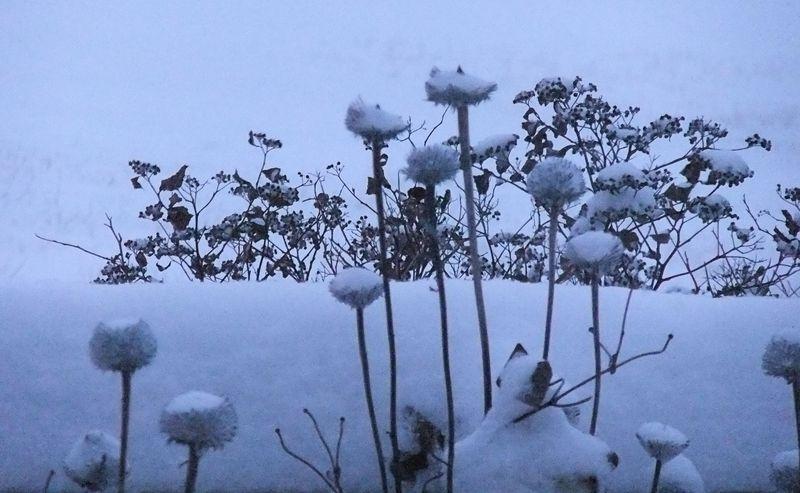 BLIZZARD SNOW CONE FLOWERS 2011