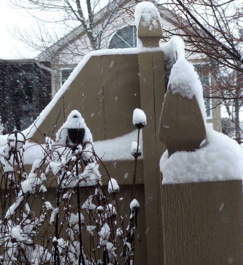 CLEMANTIS IN WINTER SNOW 2010