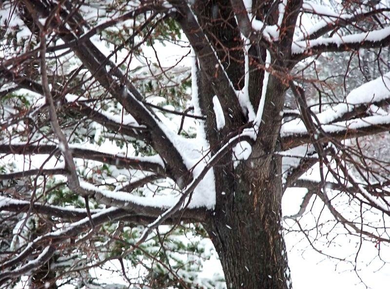 LINDEN TREE WINTER SNOW 2010