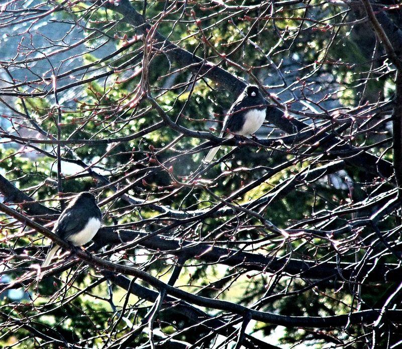 JUNCOS 2 IN LINDEN TREE 2011