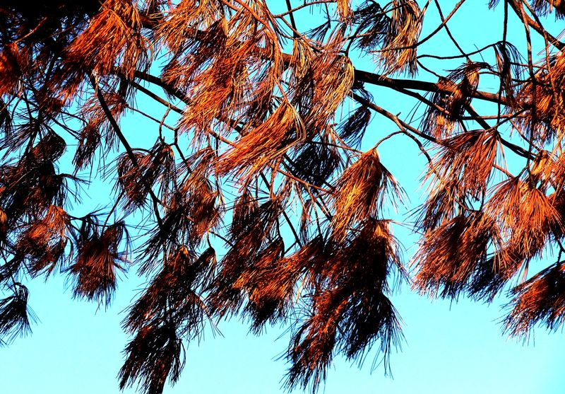 STARVED ROCK PINE CONES DYING IN SUNSHINE 2011