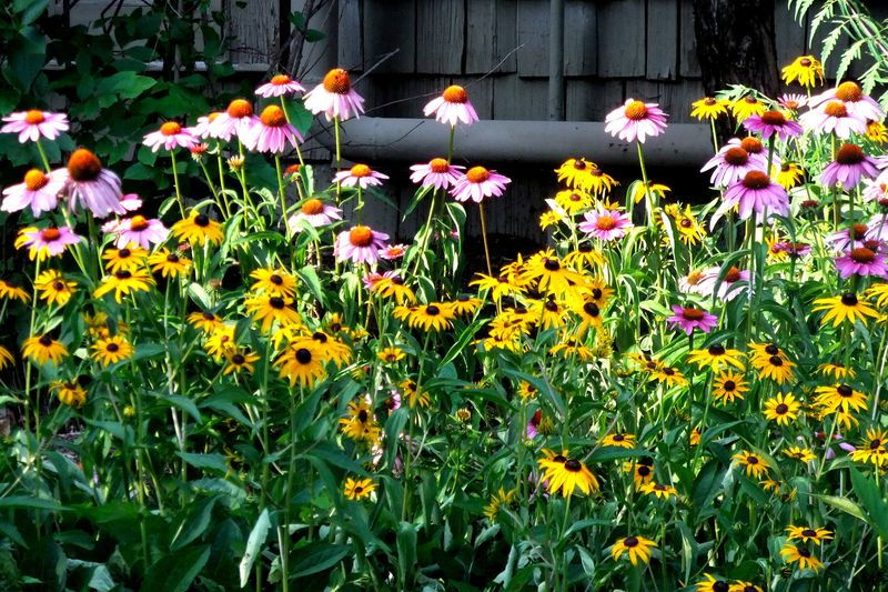 STARVED ROCK CONE FLOWER WITH BLACK EYED SUSANS 2011 - Copy