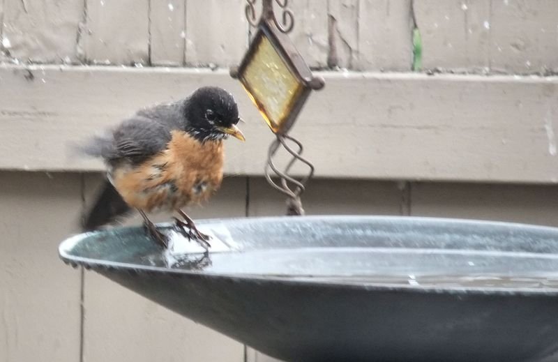 ROBIN TAKING BATH 2 040112